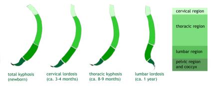 dezvoltarea coloanei vertebrale a nou nascutilor